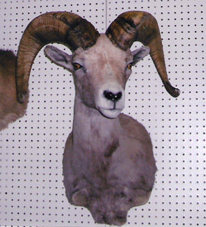 A+ Taxidermy, Henderson, Nevada, Mule Deer Mounts, elk taxidermy, fish, taxidermist art
